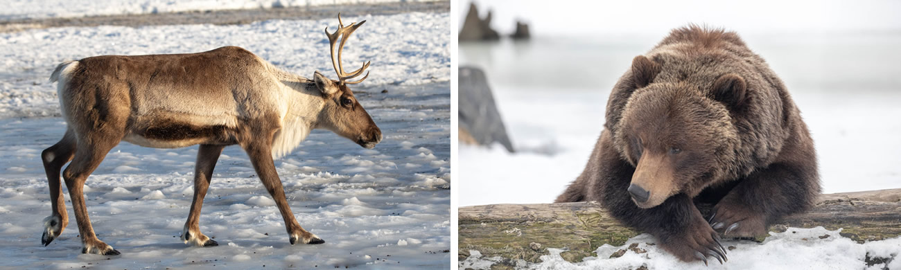 alaska-wildlife